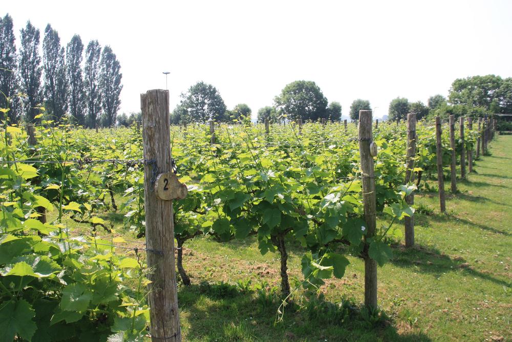 De wijngaard op het terrein