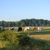 Brazende koeien op de bioboerderij als buren.