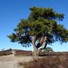 bijzondere boom nabij de top van de Archemerberg