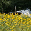 bloemenveld met tent