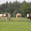 Uitzicht op de koeien