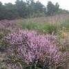 Heideveld in bloei, ook dat is Zegenoord