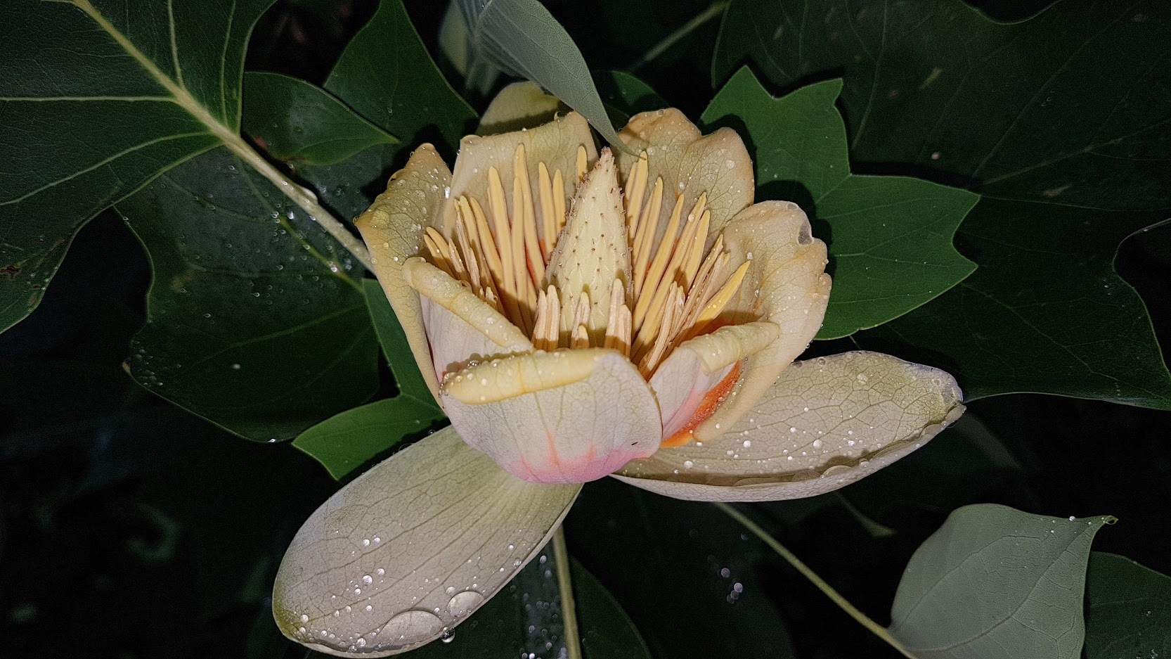 Bloem van de tulpenboom